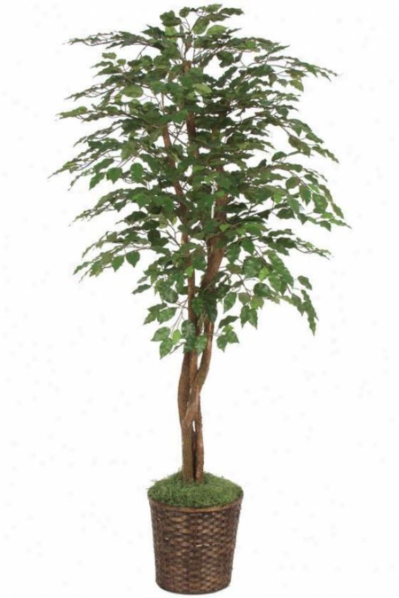 """""""72""""""""h Ficus Tree - 72""""""""hx36""""""""d, Green"""""""