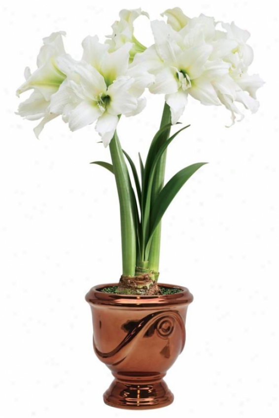 """""""amaryllis Double Ice Queen - 24""""""""hx6""""""""w, Red"""""""
