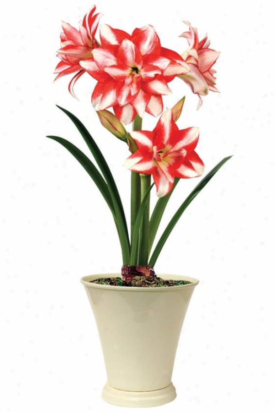 """amaryllis Exotic Peacock - 24""""hx6""""w, Red"""