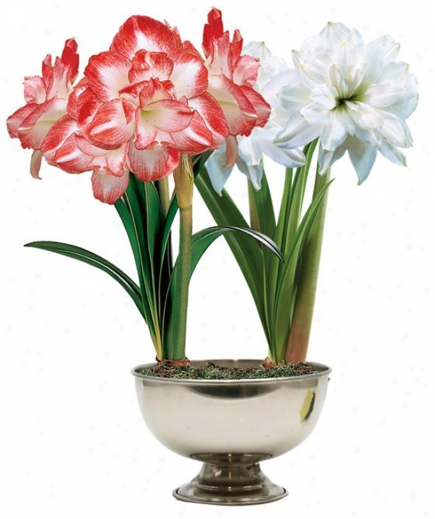 """amaryllis Peacock Duo - 24""""hx11""""w, Red"""