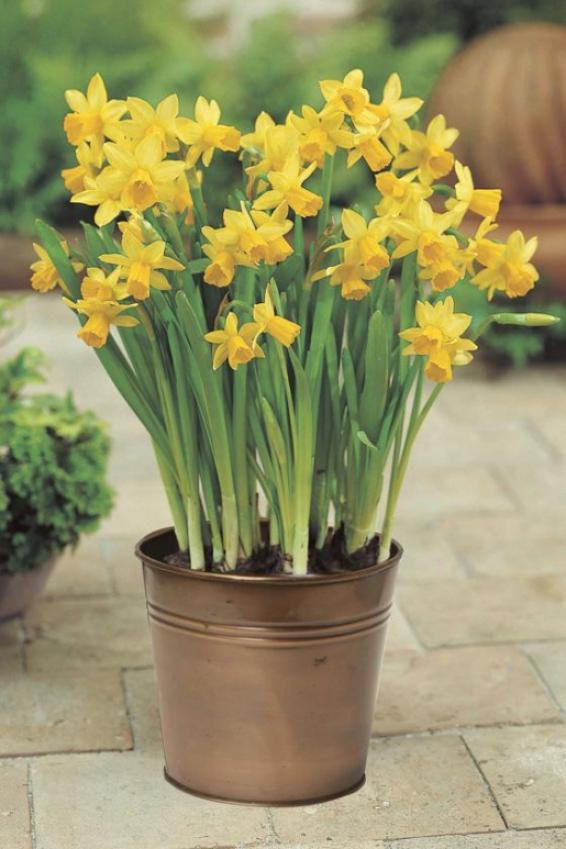 """""""daffodil Tete-a-tete - 8""""""""hx6""""""""w, Yellow"""""""