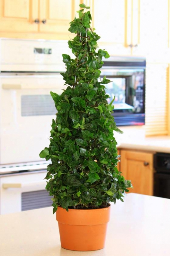 """ivy Slender 27""""h Cone - 27""""hx8""""w, Unseasoned"""