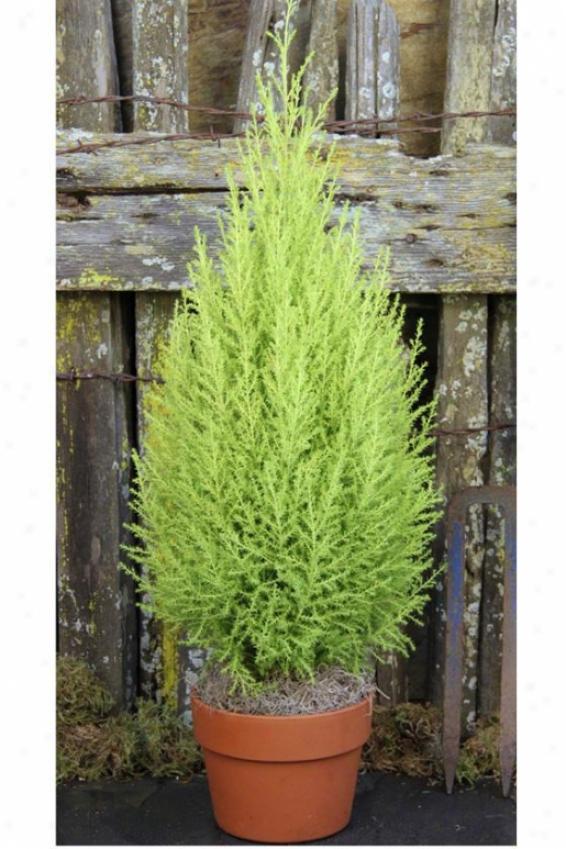 """""""lemon Cypress Cone - 25""""""""hx8""""""""w, Green"""""""