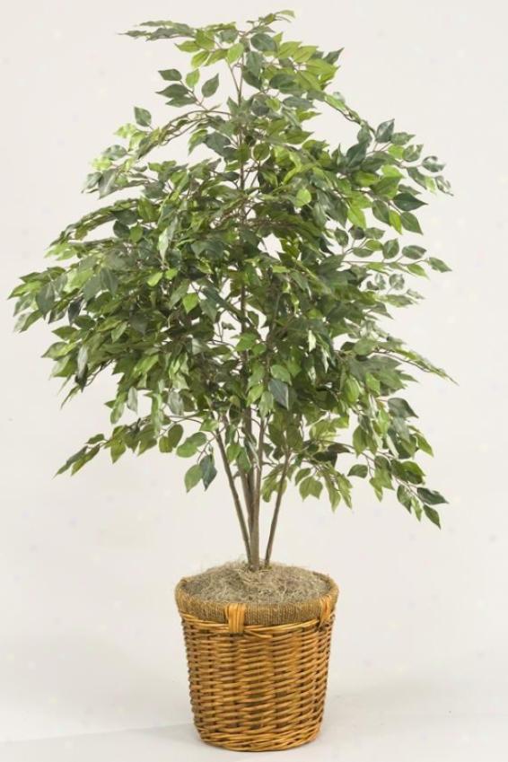 Mini Ficus Bush In Basket - 4'h, Geen