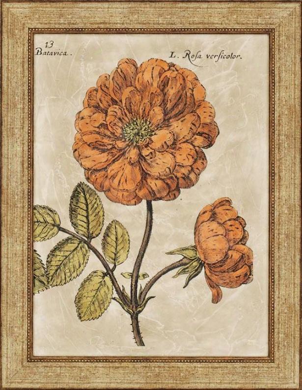 Rose Fresco - Ii, Orange