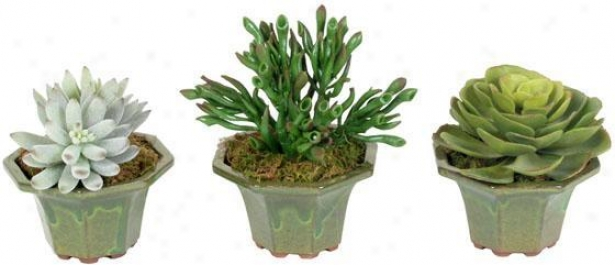 Succulents In Ceramic Planters - Set Of 3 - Set Of 3, Flourishing